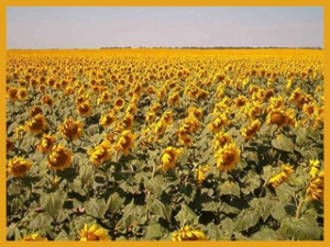 sunflower_field_north_dakota